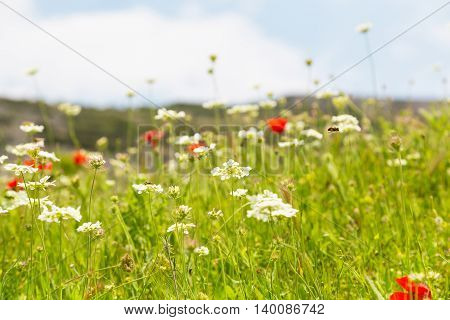 White and red uncultivated flowers at the field with copy space, place for text