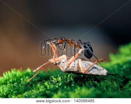 Ant and mining - bug. Glade green moss bright brown background