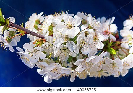 Cherry flowers blooming over blue fence in springtime