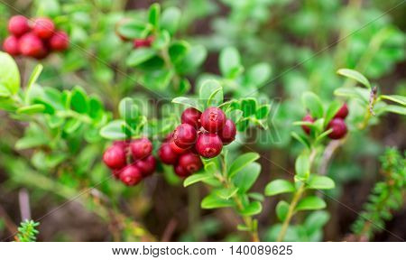 Sprigs of ripe berries in the forest. Cranberries. Selective focus