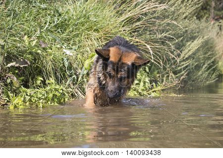 German Shepherd Dog Catches Fish In The Lake