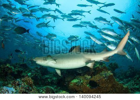 Shark and fish, Pregnant Whitetip Reef Shark and Jack fish