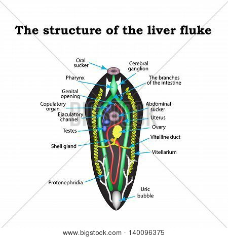 The structure of the liver fluke. Infographics. Vector illustration on isolated background.