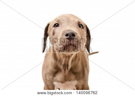 Portrait of a curious puppy pit bull, closeup, isolated on white background