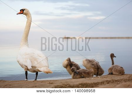 Family of swans preening its feathers on the shore