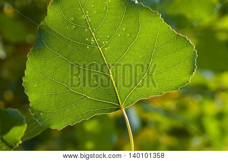 Nature green large leaf shrub spotted close-up
