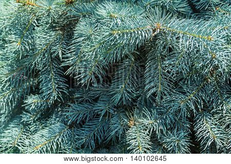 branch blue spruce close up for background