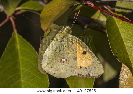 A pale clouded yellow is sitting on a leaf