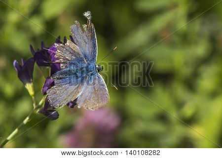 A chalkhill blue is sitting on a blue bell