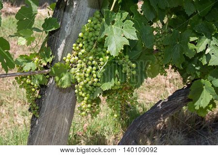 Ripe white Muscat grape cluster on branch