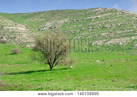 Solitary tree at the Golan Heights. Northern Israel.