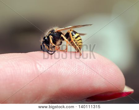 Insect wasp on a female finger. macro