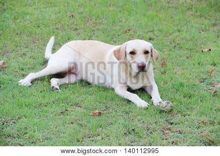 White labrador dog looked serious while laying on the grass ground
