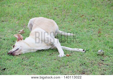 White labrador dog playing with grass on the green ground having tennis ball nearby