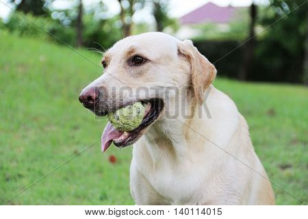 White labrador dog with green tennis ball in her mouth