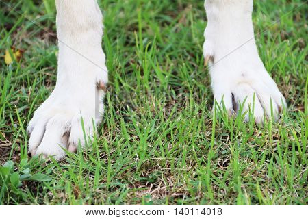 Strong feet of white dog on the green ground