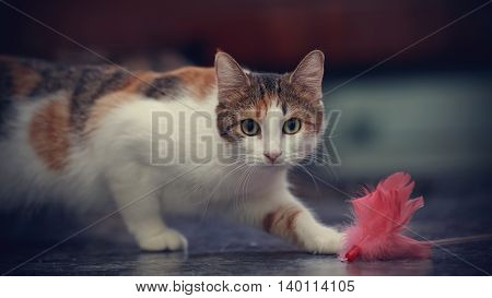 The cat of a multi-colored color plays with a toy.