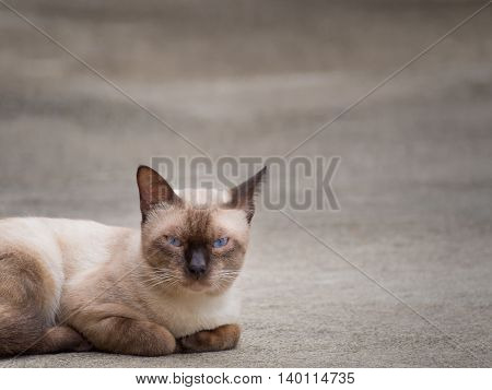 Thai famous cat (Siamese Cat Moon Diamond Seal Point) in dark and light brown hair and blue eyes lying and relaxing on floor with copy space