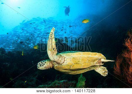 Sea Turtles in ocean