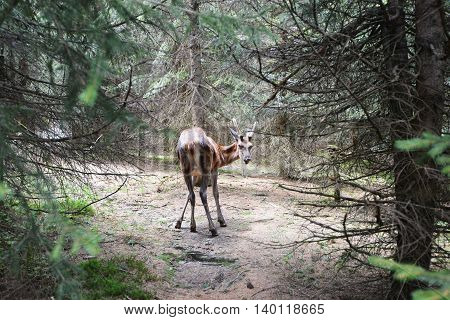 roe deer buck running in coniferous forest