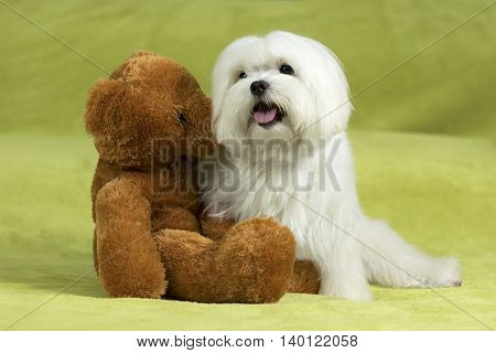 Maltese dog and teddy bear sitting in bed on a green blanket.
