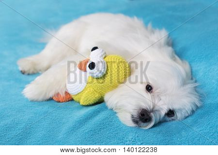 Adorable maltese dog lying in bed with favorite toy
