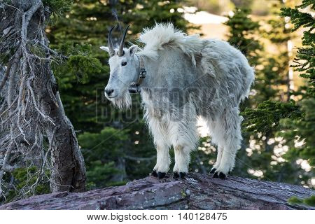 Adult Mountain Goat Stands on top of Rock amid pine trees