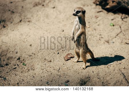 large meerkat look in the direction of