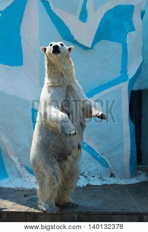 polar bear standing on its hind legs at zoo