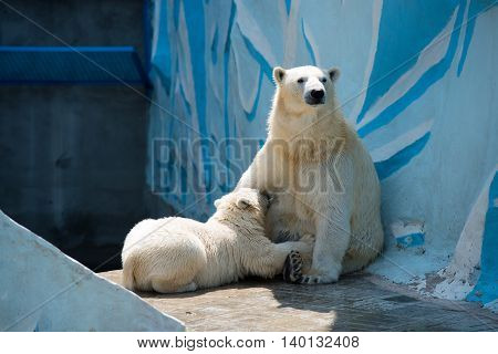 Little white Bear eats his mother's breast at the zoo