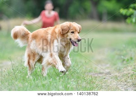 Golden retriever dog playing at the park