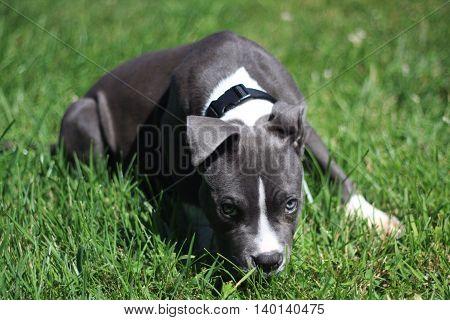Beautiful blue pitbull in bright green grass