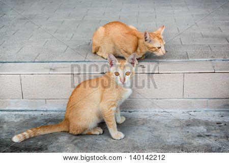 Thai Stray Cat.