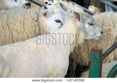 Close up of several white sheep in a holding pen, one sheared.