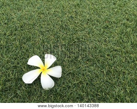 Plumeria flowers on green lawns with light and copyspace
