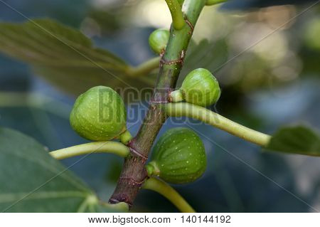 Green fruits of a common fig tree (Ficus carica)