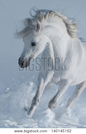 Close up galloping white stallions in snow. Monochromatic wintertime vertical outdoors image. Front view.