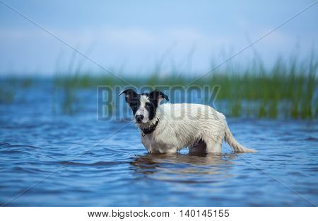 Puppy of watchdog standing in water on the sea. Summertime horizontal outdoors image.