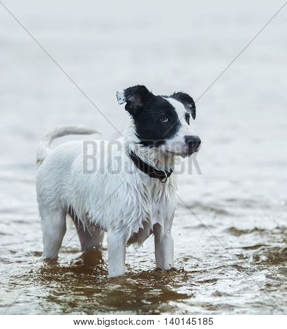 Spotty watchdog standing in water on the seashore. Summertime vertical outdoors image.