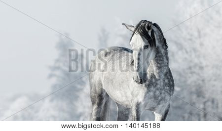 Portrait of Spanish thoroughbred grey horse in winter forest. Monochromatic wintertime horizontal outdoors image.