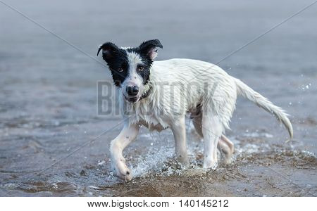 Puppy of mixed breed dog playing in the water. Horizontal composition.