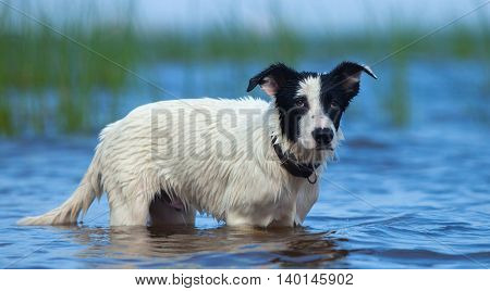 Spotty puppy of mongrel standing in water on the seashore. Summertime horizontal outdoors image.