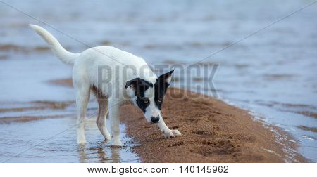 Puppy of mongrel prepares for attack on the seashore. Summertime horizontal outdoors image.