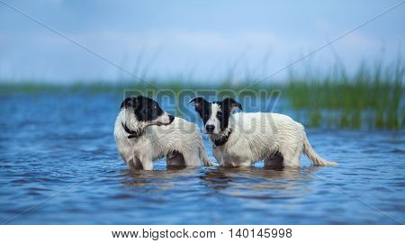 Two puppies of mongrel standing in water on the sea. Summertime horizontal outdoors image.