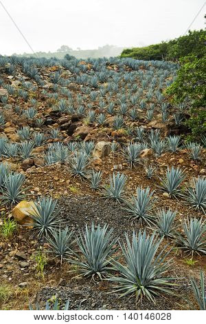 a small field of agave in Tequila , Jalisco, Mexico