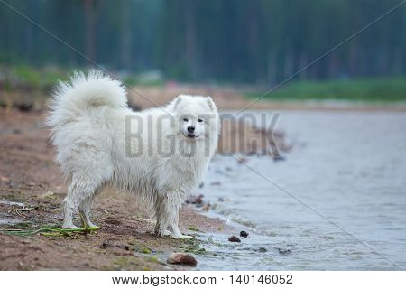 Purebred samoyed dog standing around water on the seashore. Multicolored summertime horizontal outdoors image.