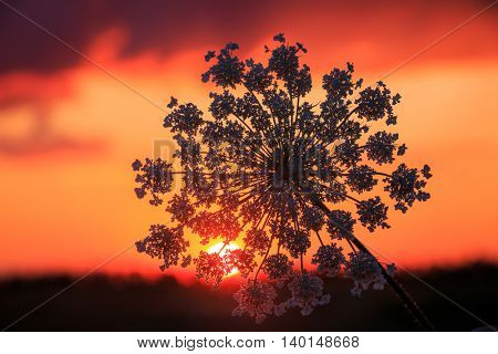 wild flowers on red sunset sky background