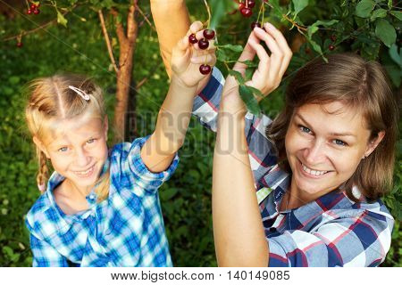 Summer family picking red cherry from tree.