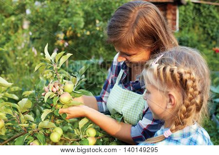 Young beautiful mother and her daughter picking fresh organic apples in a garden