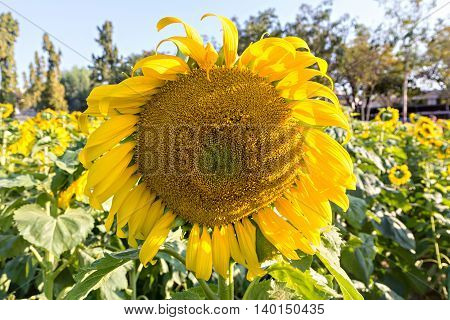 Sunflower Field Against A Bright Sky